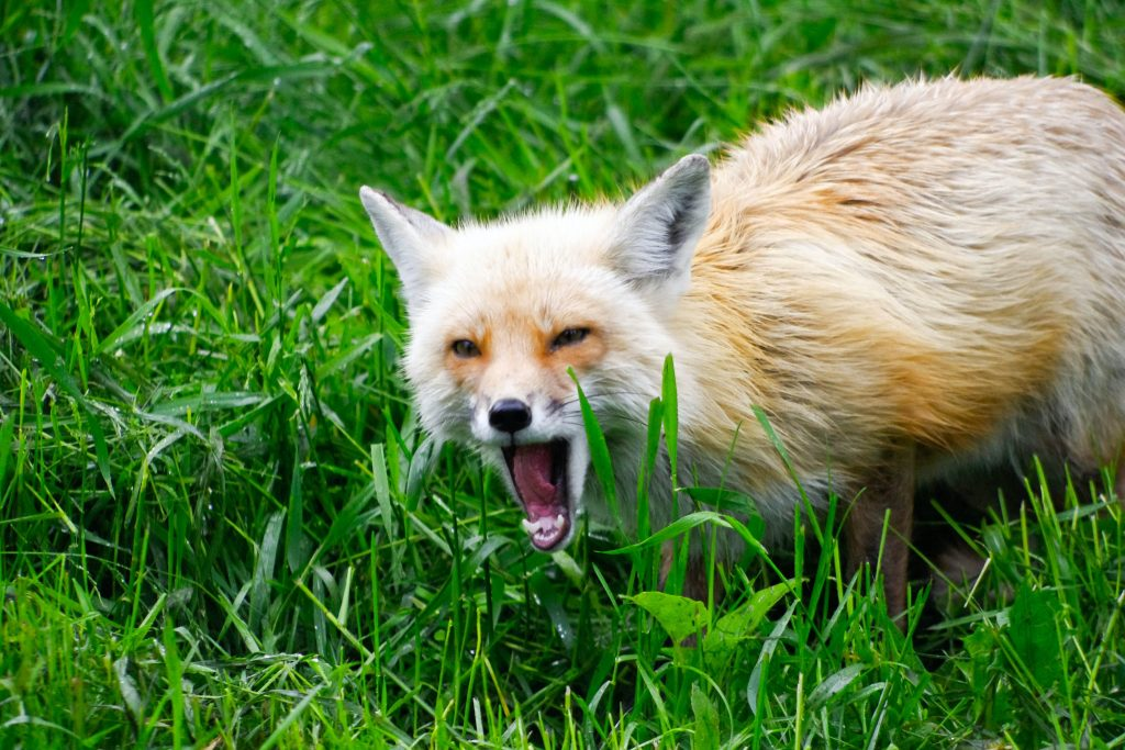Fox with menacing open mouth
